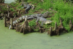 Gotta see dem gators! Audubon Zoo, New Orleans, La.